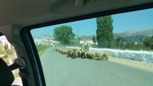 Owce idą środkiem drogi